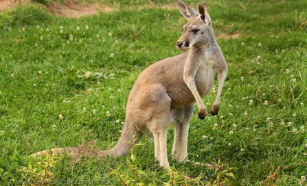 Сотрудники зоопарка в Латвии уже неделю ловят кенгуру-беглеца