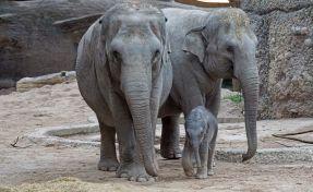 В Китае из-за стада диких слонов эвакуировали 150 тысяч человек